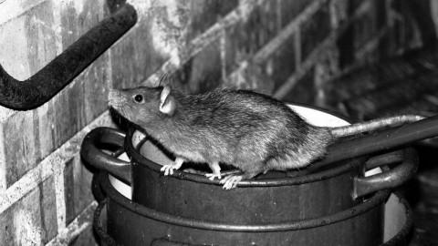 发烧、头痛……可能患鼠尿病